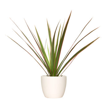 Dracaena Plant for Houston Windows